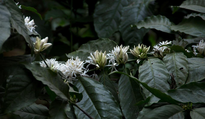 www.raconte-moi-une-image.com/fleurs de café