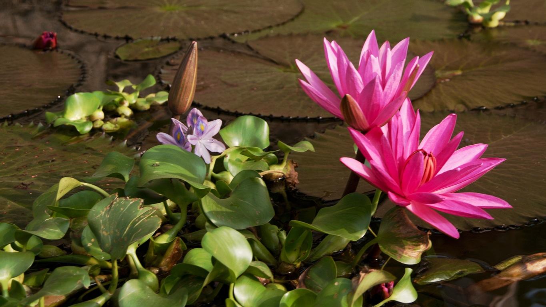 www.raconte-moi-une-image.com/fleurs de lotus