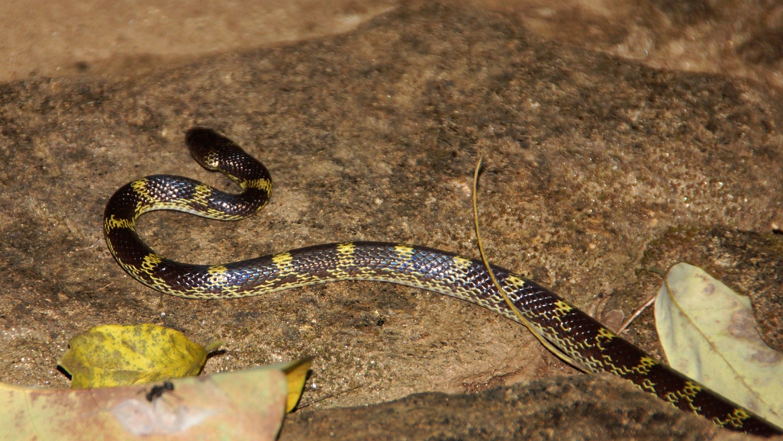 Le serpent krait est le second serpent le plus dangereux d'Inde