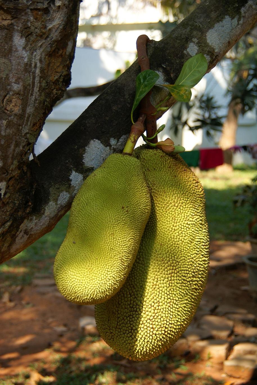 www.raconte-moi-une-image.com/un Jack-fruits peut peser de 20 à 80 kilos