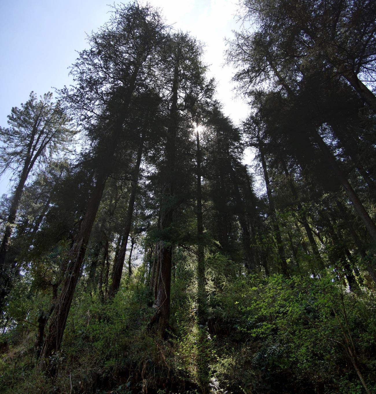 www.raconte-moi-une-image.com/Les deodars (cèdres) de Shimla