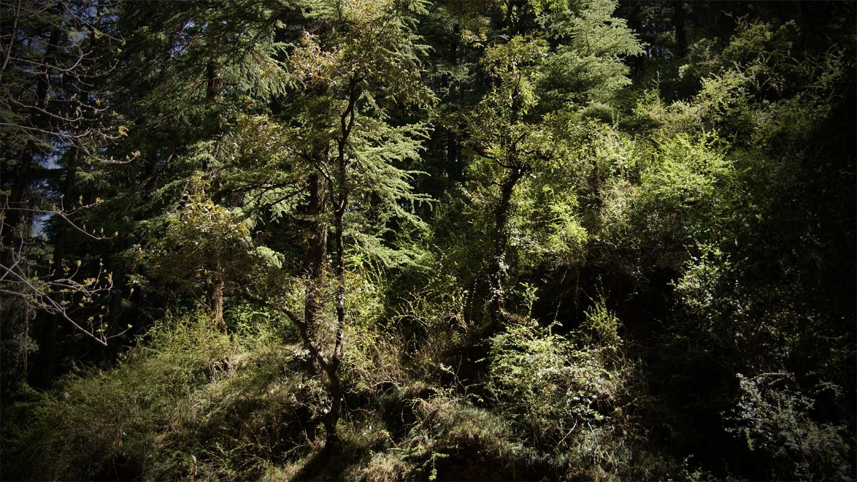 www.raconte-moi-une-image.com/deodars (cèdres) le long des route à Shimla