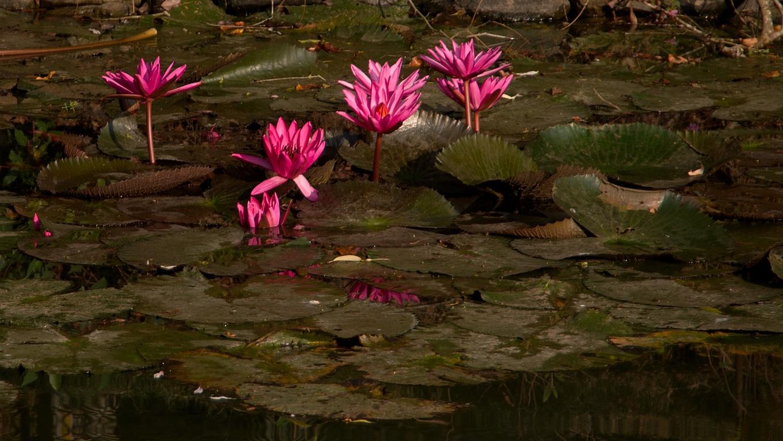 www.raconte-moi-une-image.com/plus de doutes : Lotus sans mouche cousue