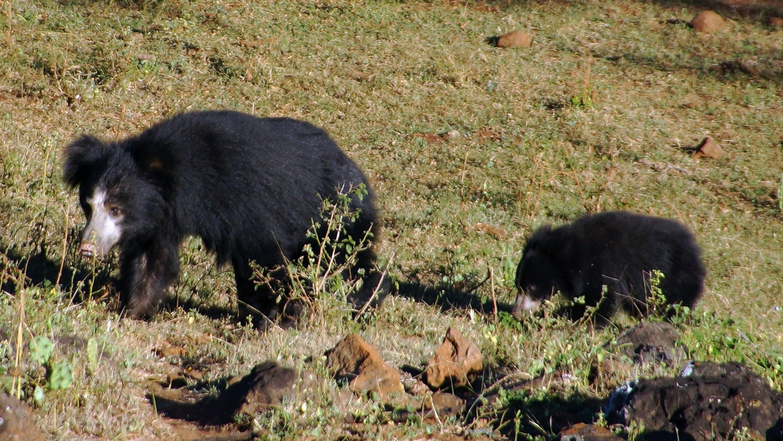 l'ours lippu se rencontre dans les régions forestières du sous-continent indien, de l'Himalaya au Sri Lanka