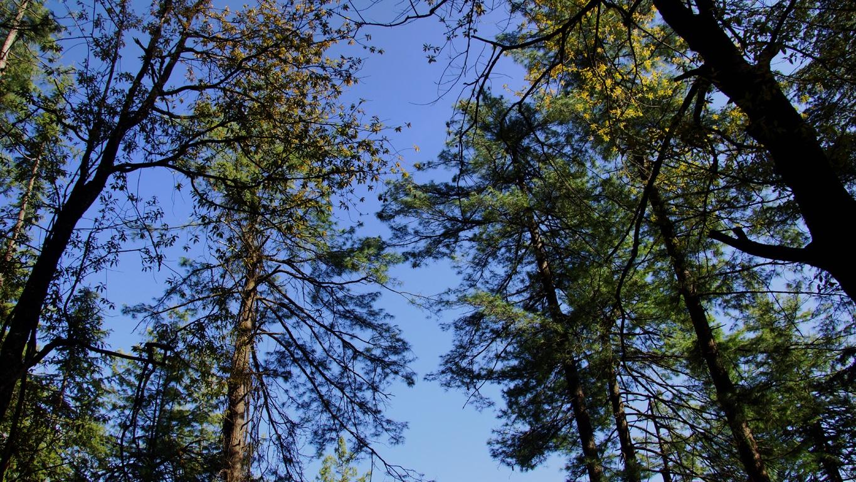 Les grands arbres qui bordent la route d'accès à Hatu peak (Narkanda, Himachal Pradesh)