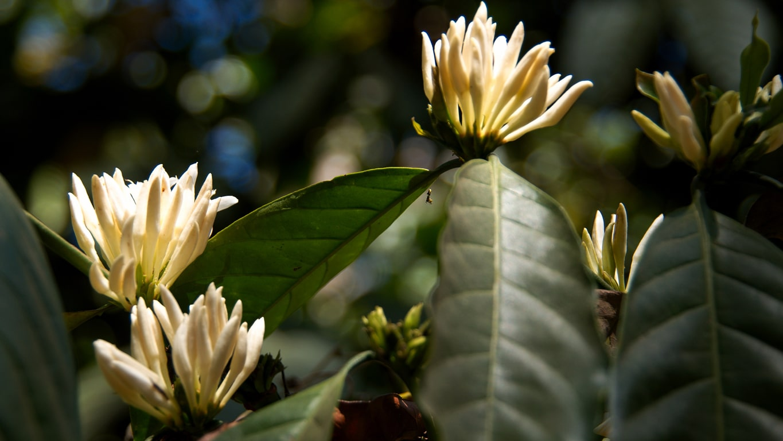 www.raconte-moi-une-image.com/fleurs de café - Madikeri