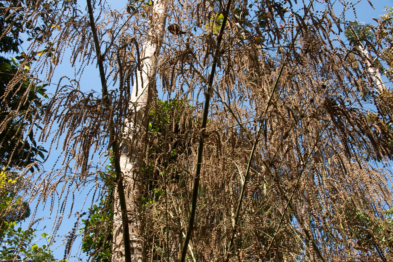 www.raconte-moi-une-image.com/A maturité les fleurs de Bambous donnent le bamboo rice