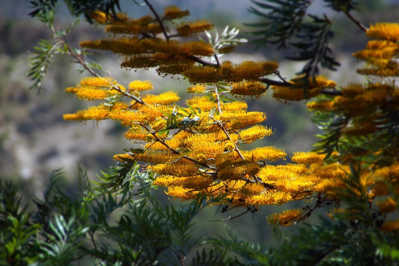 www.raconte-moi-une-image.com/somptueux arbres à fleurs à l'entrée de Rampur Bushahr - Himachal Pradesh - Himalaya