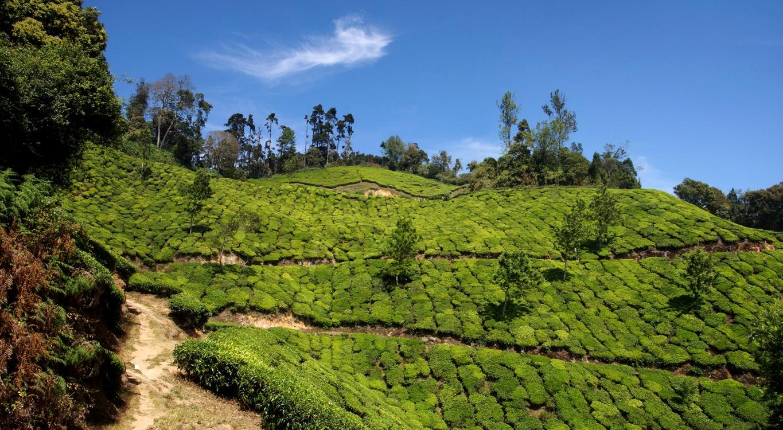 A perte de vue, les plantations de thé à Munnar (Kerala)