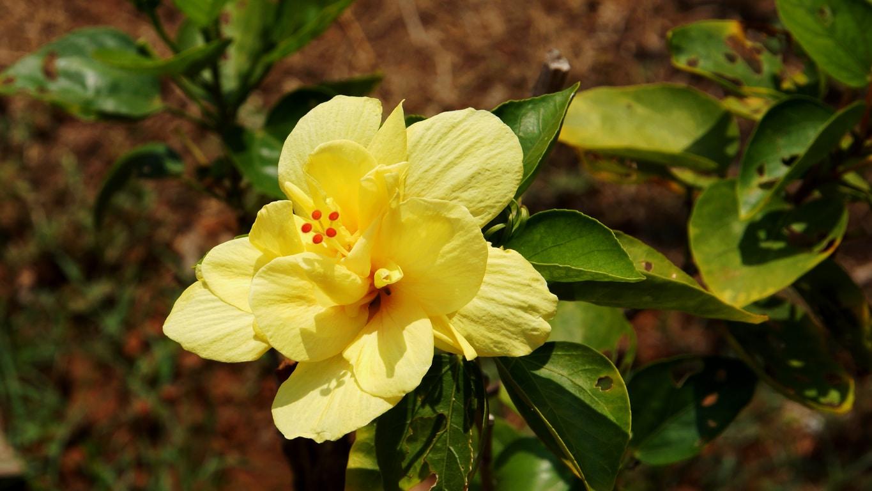 www.raconte-moi-une-image.com/un très bel hibiscus dans les jardins du Fort San Angelo à Kannur
