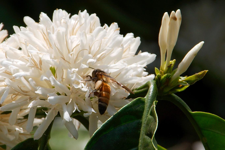 www.raconte-moi-une-image.com/communion de l'abeille et de la fleur de café dans le Coorg près de Madikeri