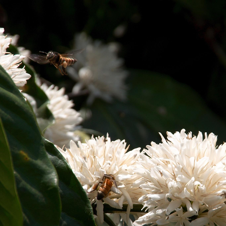 www.raconte-moi-une-image.com/on imagine le miel de la fleur de café quand on sent les effluves en se promenant dans les plantations du Coorg
