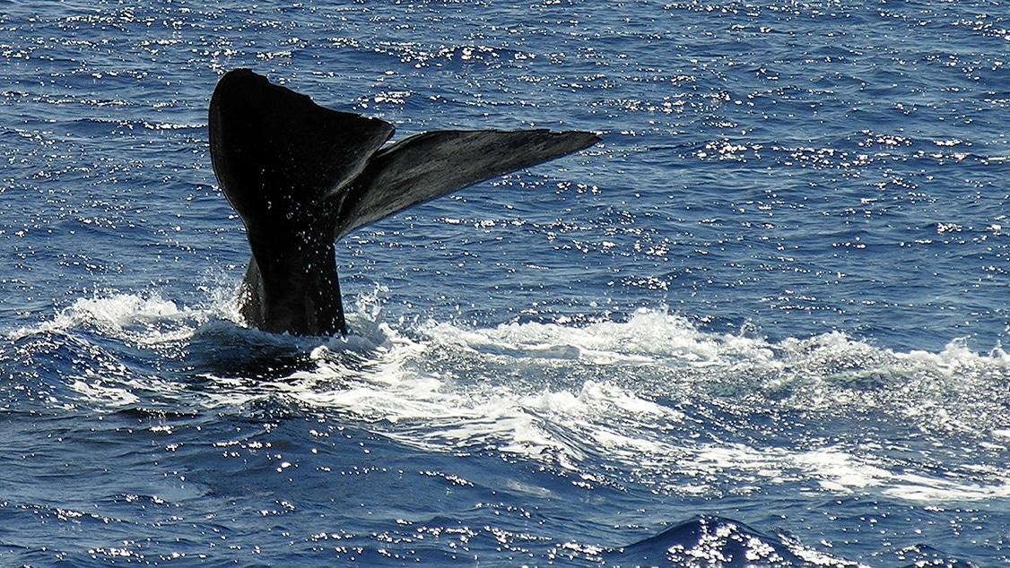 nageoire-caudale-cachalot-plongée-Guadeloupe